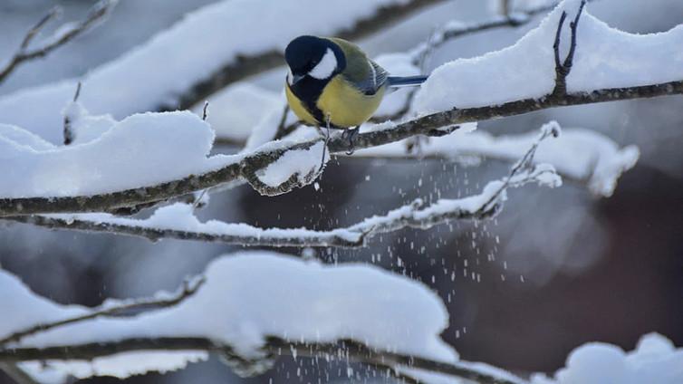 Linnuilla uskomattomia konsteja talven selättämiseen