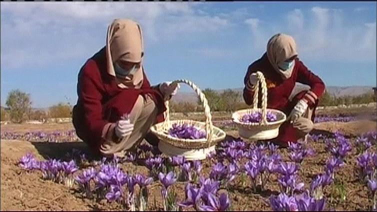 Afganistanissa elvytetään maataloutta sahramintuotannolla