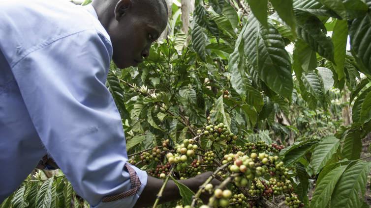 Banaani auttaa kahvia selviytymään ilmastonmuutoksesta