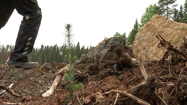 Paimiossa istutettiin puita 100-vuotiaan Suomen kunniaksi