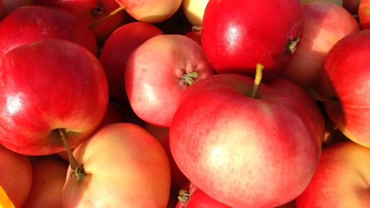 Kotimaista omenaa saa kaupoista entistä useammin myös talvella