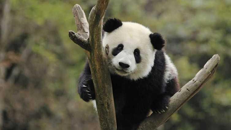 Pandat saapuvat pian Ähtäriin