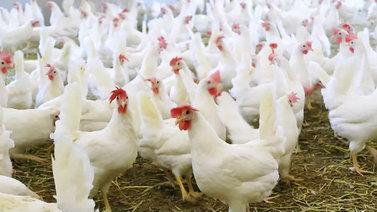 Kuluttajien valinnat vaikuttavat kananmunien tuotantoon