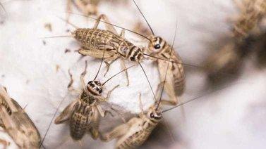 Hyönteisten kasvatus ruuaksi yleistyy vauhdilla – sirkkafarmeja perustetaan ympäri maata