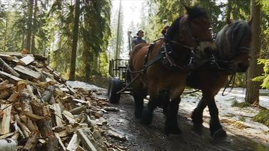 Hevosmetsuri työskentelee luonnon ehdoilla