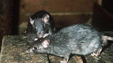 Rottien myrkyttäminen on siirtynyt ammattilaisille