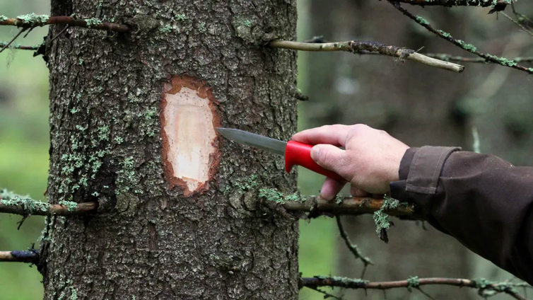 Puu turpoaa sateella ja kutistuu helteellä luultua enemmän