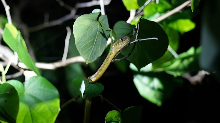 Guamin saaren vallanneet käärmeet tunkeutuvat viemäreistä koteihin ja katkovat sähköjä