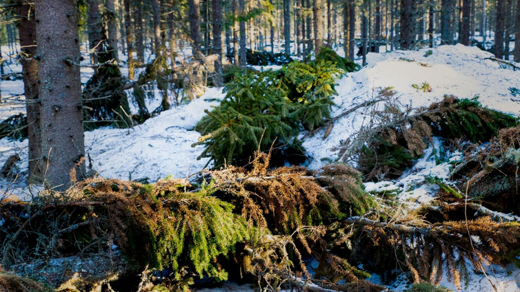 Tuhannet lajit kaipaavat lahopuuta talousmetsiin