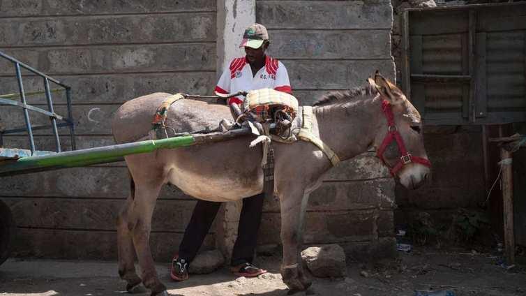 Keniassa aasit uhkaavat kuolla sukupuuttoon