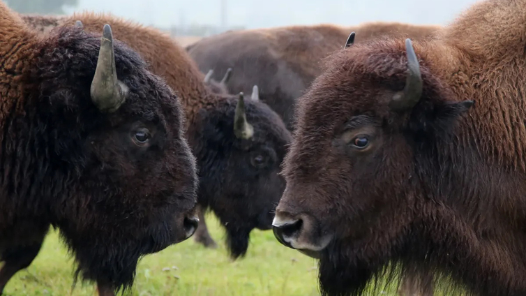 Loimaa on luopumassa tunnetuista biisoneistaan