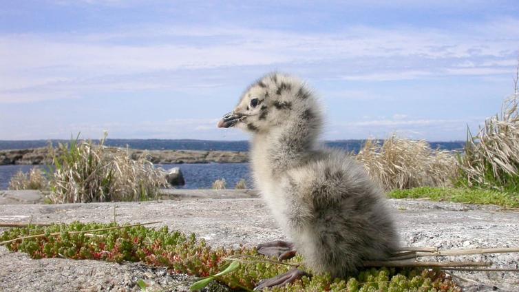 Peräti kolmannes Suomen lintulajeista on uhanalaisia