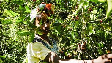 Etiopian villit kahvimetsät voivat turvata kahvintuotannon