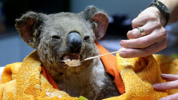 Australian metsäpalot iso uhka koaloille