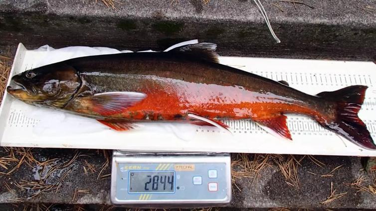 Kuolimojärvellä elvytetään Suomen uhanalaisimman kalan kantaa