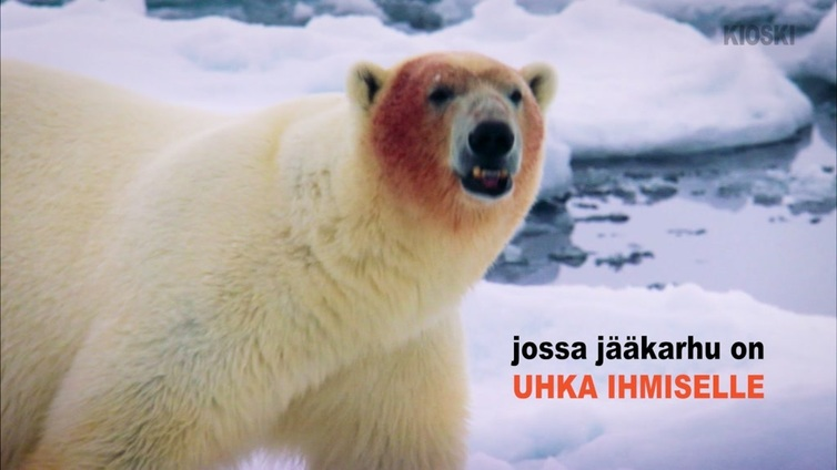 Huippuvuorilla väistellään jääkarhuja aseen kanssa
