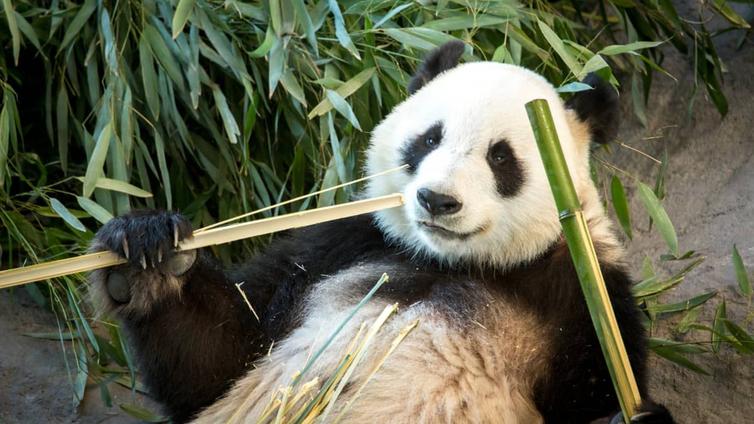 Ähtärissä jännitetään pandojen lisääntymistä