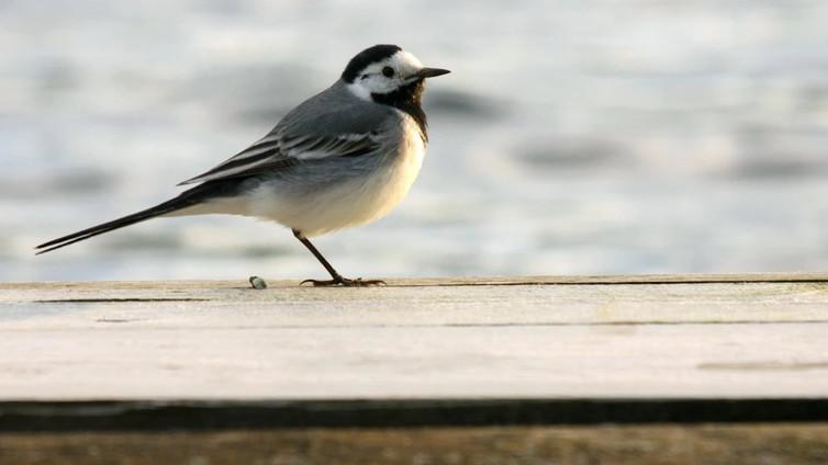 Lintuharrastuksen ja luontomatkailun suosio kasvaa – Hangon lintuasema avataan yleisölle