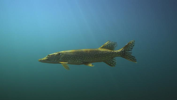 Tarinoita järviltä: Suomessa elää yli sata kalalajia