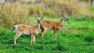 Peurat hävittivät yli sata luonnonkasvia Tammisaaren Skärlandetin saaressa