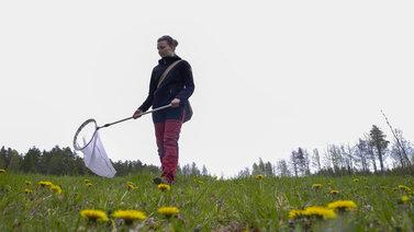 Kimalaisseuranta selvittää, ovatko pölyttäjät vähentyneet Suomessa