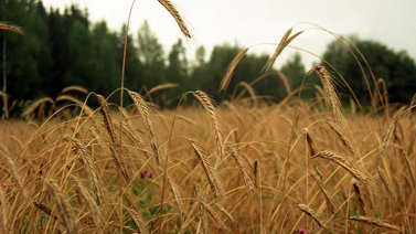 Vaihtelevat säät jarruttavat viljan puintia