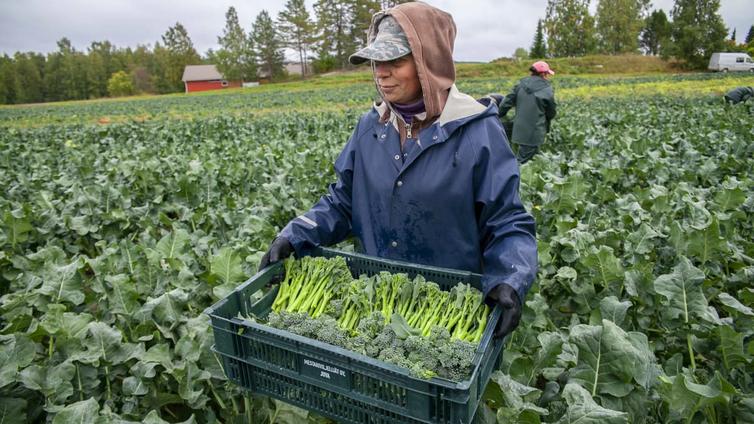 Japanissa kehitetty vihannes kasvaa hyvin myös suomalaisilla pelloilla