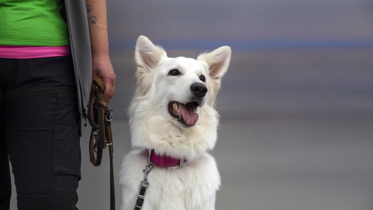 Koira haistaa koronan paremmin kuin laboratoriotestit