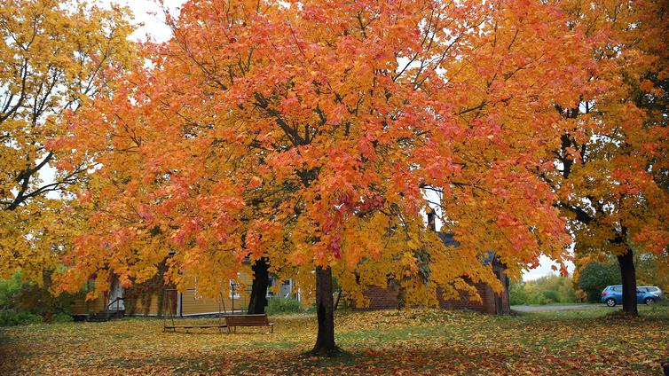 Ilmastonmuutos uhkaa myös kaupunkien puita