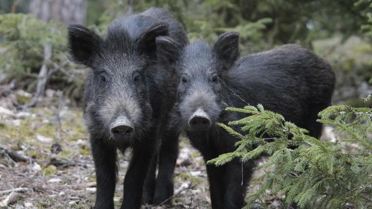 Villisiat vetivät tutkijoita höplästä, kun sikoja yritettiin loukuttaa
