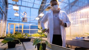 Tiede iskee kasviviruksia vastaan geenien editoinnilla
