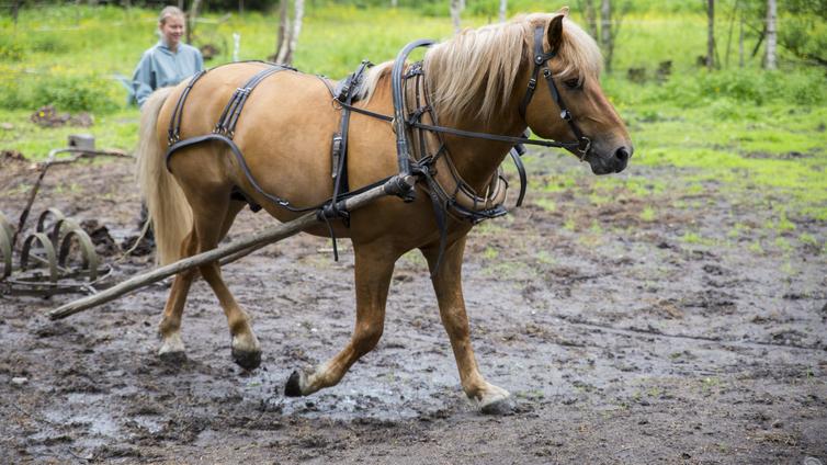 Geenitestit paljastavat uusia piirteitä suomenhevosesta