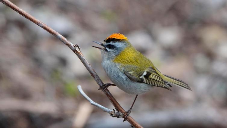 Suomi on maailman johtavia lintulaskentamaita