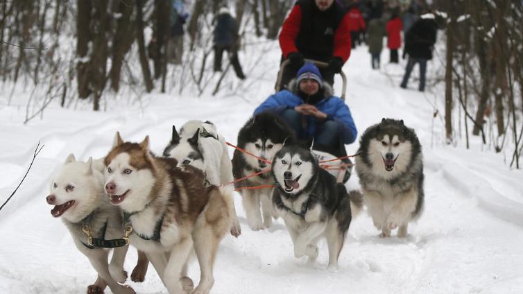 Osa Lapin koiravaljakoista juoksee lumisessa Etelä-Suomessa