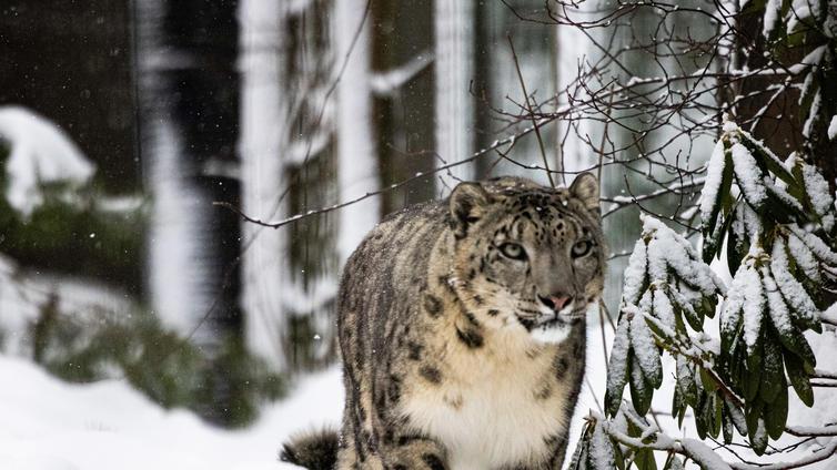 Korona on sairastuttanut myös eläimiä lumileopardeista fretteihin