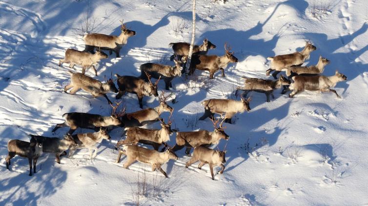 Suomenselän harvinainen metsäpeurakanta kasvoi huomattavasti