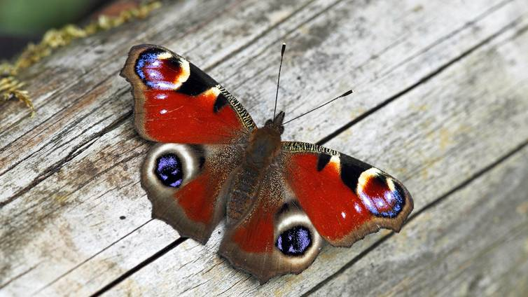 Kevät on herättänyt ensimmäiset perhoset