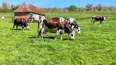 Tuoretta ruohoa syövä lehmä tuottaa maistuvampaa juustoa
