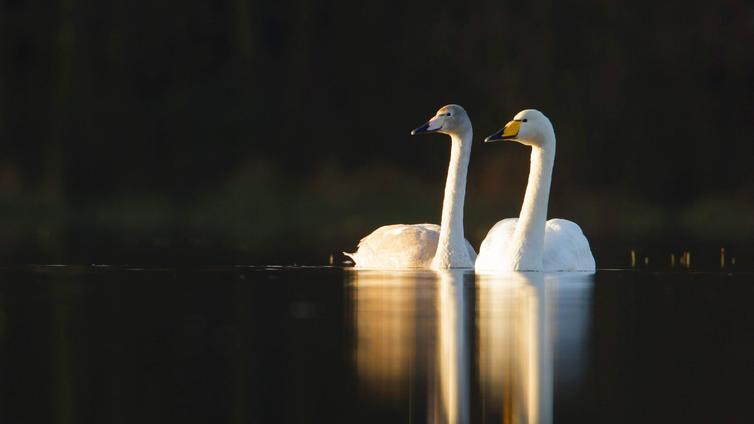 Tarinoita järviltä: Laulujoutsen