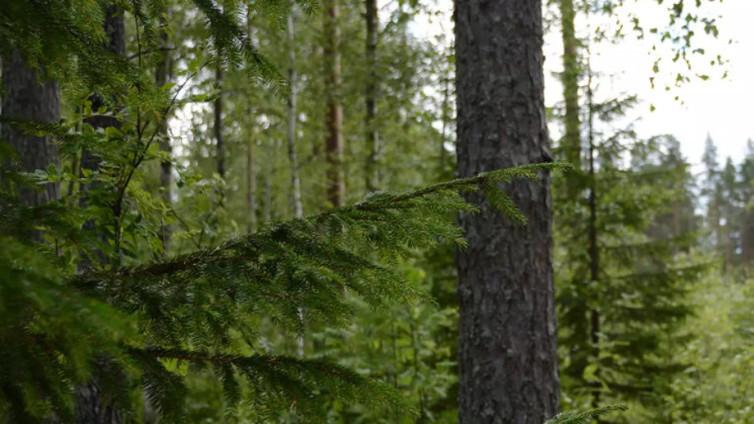 Metsät hakataan aiempaa nuorempana