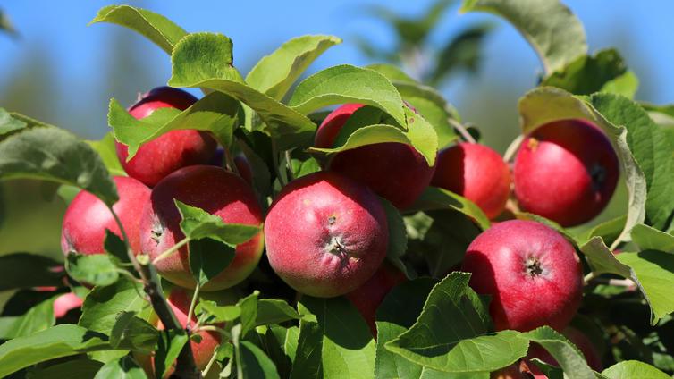 Syksyn omenasato erinomainen
