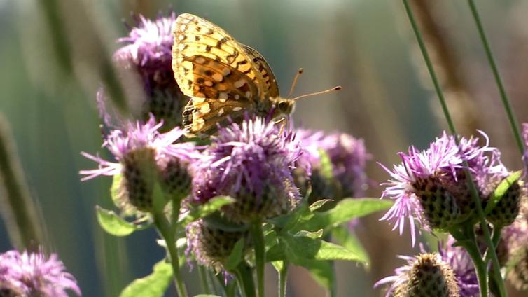 Ahvenanmaalla tutkittu perhosten elämää pian 30 vuotta
