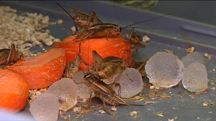 Hyönteisiä tulossa suomalaiseen ruokapöytään