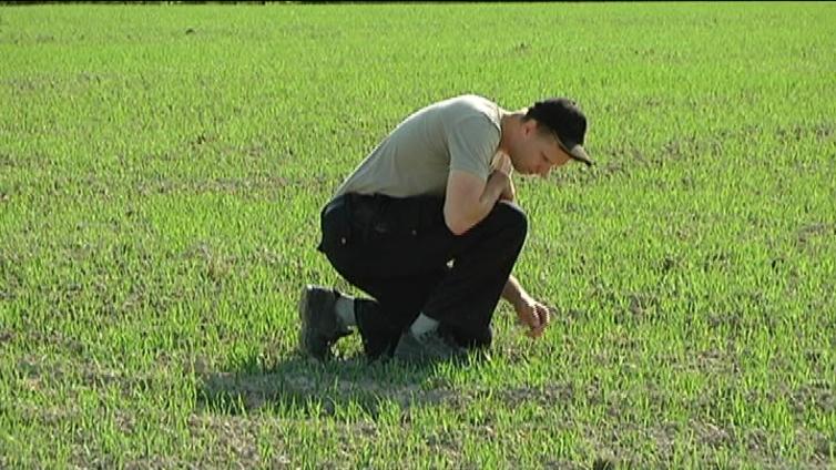 Tuomikirvat uhkaavat kevätviljoja koko maassa
