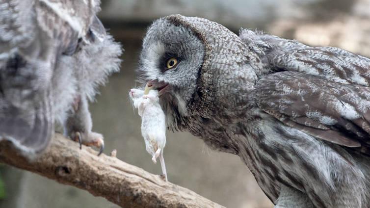 Pöllöt pakastavat ruokaa talven varalle